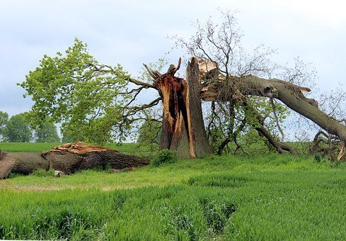 Storm Damage, Oak, Tree Break, Canceled, Kinked