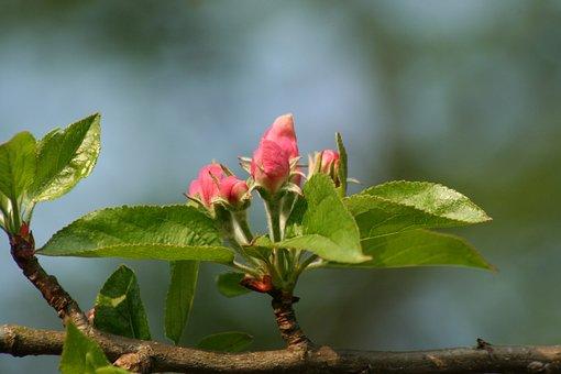 Flower, Bloom, Blossom, Apple