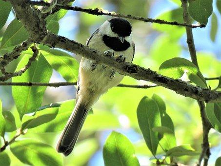 Bird, Tiny, Chickadee, Tree, Wildlife