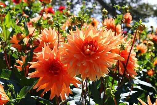 Dahlia, Orange, Blossom, Bloom, Late Summer, Plant