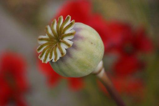 Seed Pod, Poppy, Capsule, Seed, Head, Organic, Dry