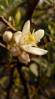 Flower, Lemon, Lime, Nature, Blossom, Floral, Citrus