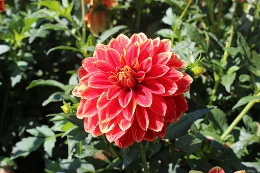 Dahlia, Red, Yellow, Blossom, Bloom, Late Summer, Plant