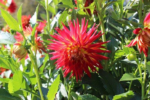 Dahlias, Dahlia, Red, Yellow, Blossom, Bloom