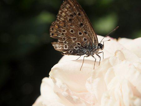 Butterfly, Garden, Fashion Rose, Rose, Rose Bloom