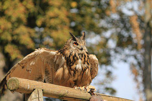 Owl, Bird, Raptor, Grand Duke, Nocturne, Wild Birds