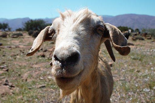 Goat, Hello, Greeting, Interest, Curiosity