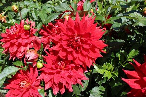 Dahlias, Dahlia, Red, Blossom, Bloom, Late Summer