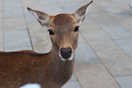 Japan, Nara, Small Deer, Deer, Small Animals