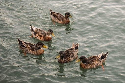 Ducks, Sea, Bird, Animal, Nature, Group