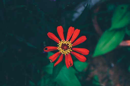 Flowers, Red, Nature, Colorful, Red Flowers, Plant