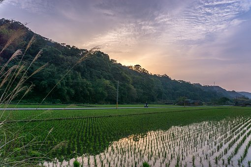 Bicycle, Field, Rice, Chinese, Paddy, Taiwan, Rural