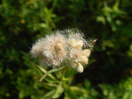 Plant, Wild, Seeds, Vilanos