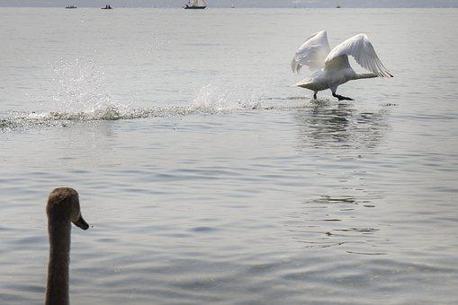 Swan, Start, Water Bird, Departure, Swans, Swing, Fly