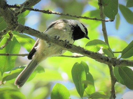 Bird, Tiny, Chickadee, Wildlife, Tree