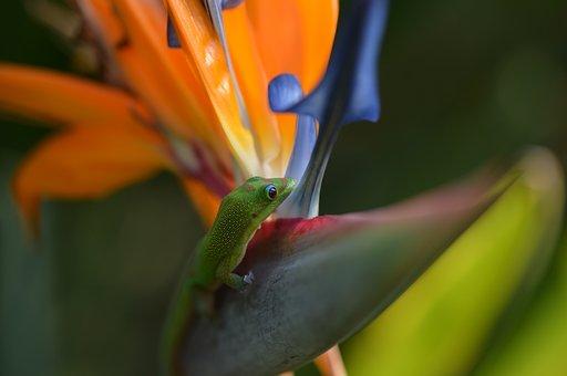 Gecko, Bird Of Paradise, Tropical, Hawaii, Nature