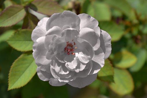 White Rose, Yorkshire Emblem, Innocence, Purity