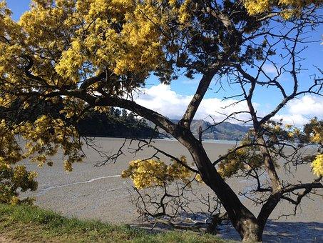 Tree, Nature, Spring, Mimosa, Yellow, Flowering