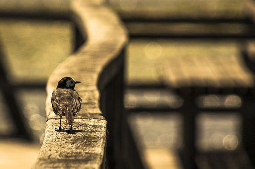 Bird On Railing, White Wagtail, Spring Lake, Bird