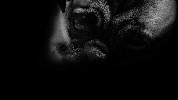 Dog, Pug, Sad, Black, White, Eyes, Soledad, Cold