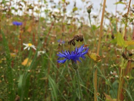 Cornflower, Field, Blue, Summer, Cornfield, Agriculture