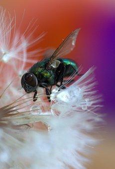 Fly, Dandelion, Drops, Macro, Wet, Water, Insecta