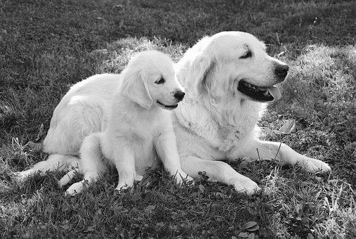 Dog, Dogs, Golden Retriever, Photo Black White