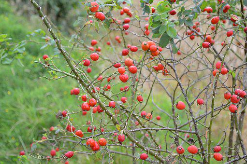 Nature, Autumn, Green, Thorns, Rose Hip, Plant