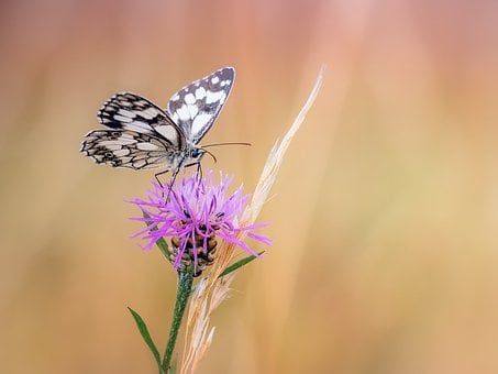 Butterfly, Chess Board, Macro, Knapweed, Close, Insect