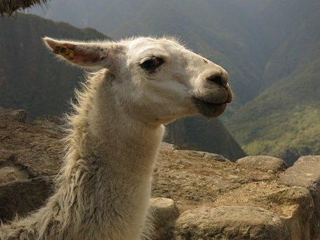 Alpaca, Lama, Camel, Machu Picchu, Peru