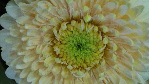 Gerbera, Flower, Large, Blossom, Bloom, White