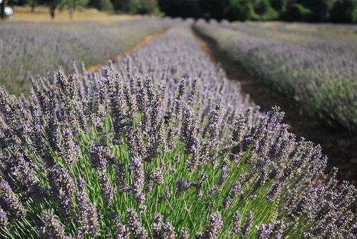 Lavender, Flower, Perfume, Violet, Garden