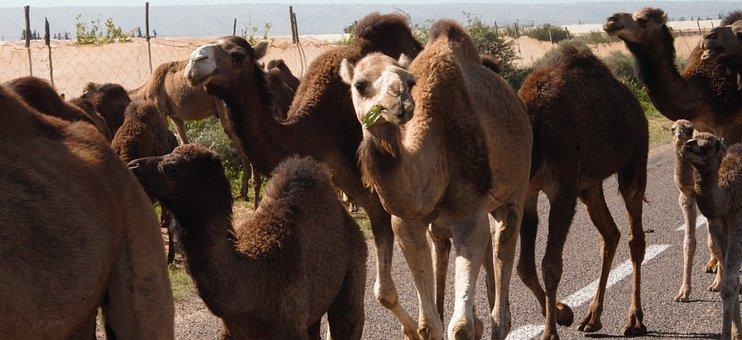 Traffic Jam, Camels, Morocco, Marrakesh