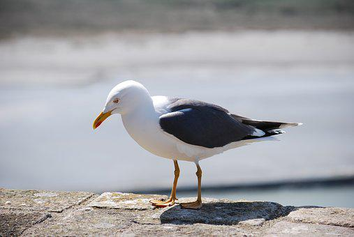 Seagull, Animals, Gull, Nature, Bird, Animal, Wildlife