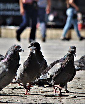 Bird, Pigeon, Animal, Turkey, Fly, Wing, Pigeons