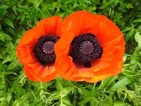 Poppy, Poppy Flower, Carrot