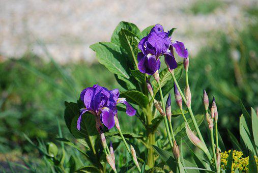 Flower, Iris, Violet, Nature, Purple, Garden, Macro