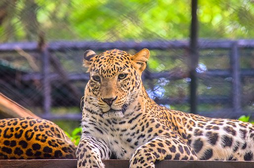 Leopard, Wild, Beast, Animal, Wildlife, Nature, Cat