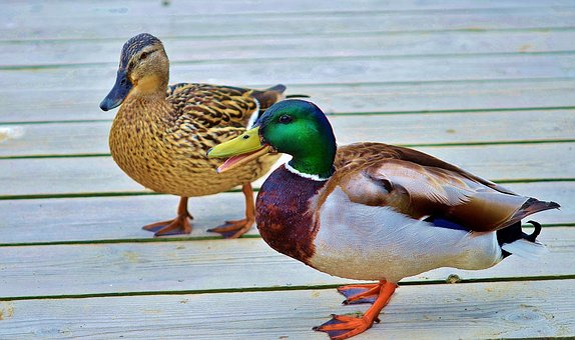 Duck, Animal, Bird, Wildlife, Wild, Farm, Goose, Lake