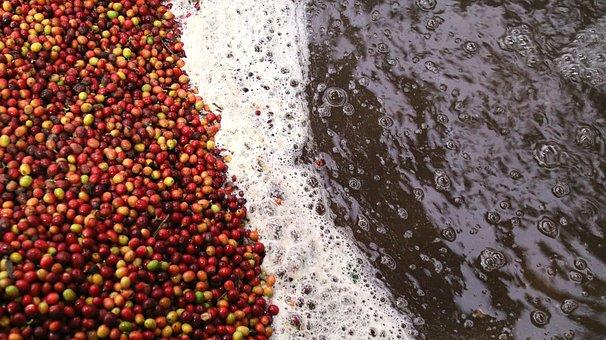 Coffee, Processing Coffee, Wet Process, Process
