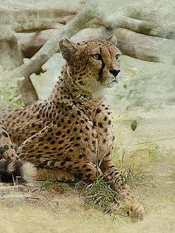 Cheetah, Cat, Predator, Wild Beast, Zoo, Danger, Lies