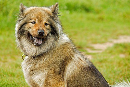 Eurasians, Medium, Spitz-like, Dog, Purebred Dog