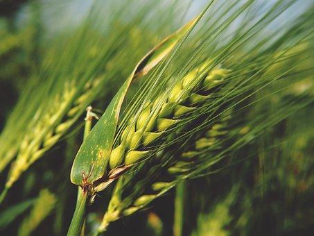 Grain, Wheat, Rye, Nature, Cereals, Field, Spike