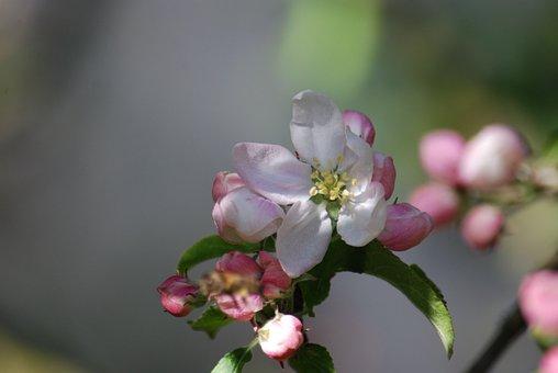 Apple, Flower, Nature, Tree, Garden, Spring, Petal