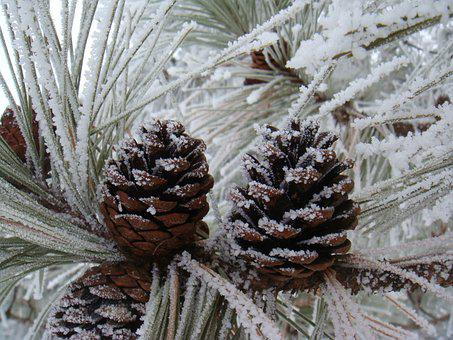 Pinecone, Frost, Snow, Winter