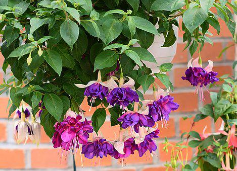 Fuchsia, Blossom, Bloom, Violet, Fuchsia Flowers