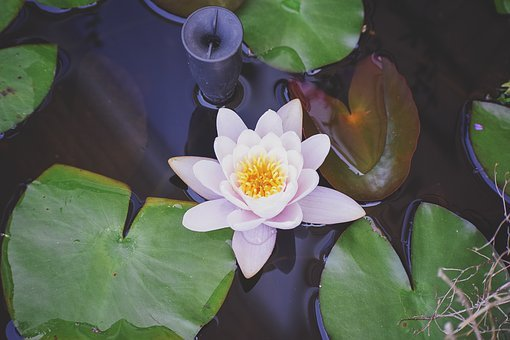 Lily Pad, Lily, Flower, Water, Pond, Green, Pad, Garden