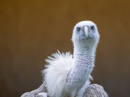 Raptor, Griffon Vulture, Bird Of Prey, Gyps Fulvus