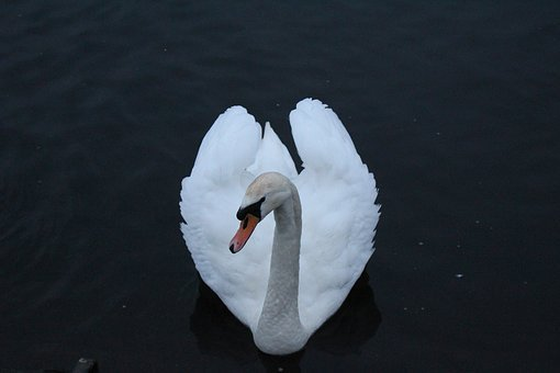 Swan, Otley, River, Heart, Bird, Wildlife, Water