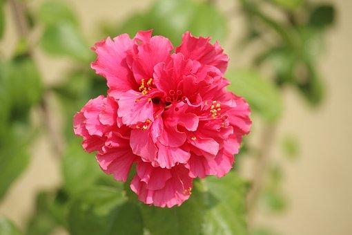 Flower, Rose, Pink